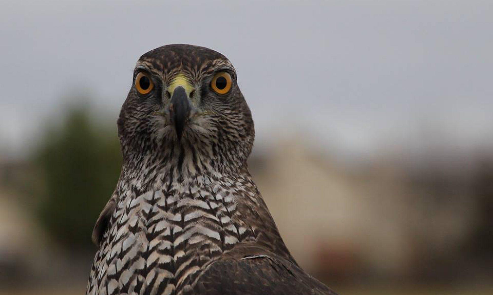 AQFA - Association Québécoise des Fauconniers et Autoursiers